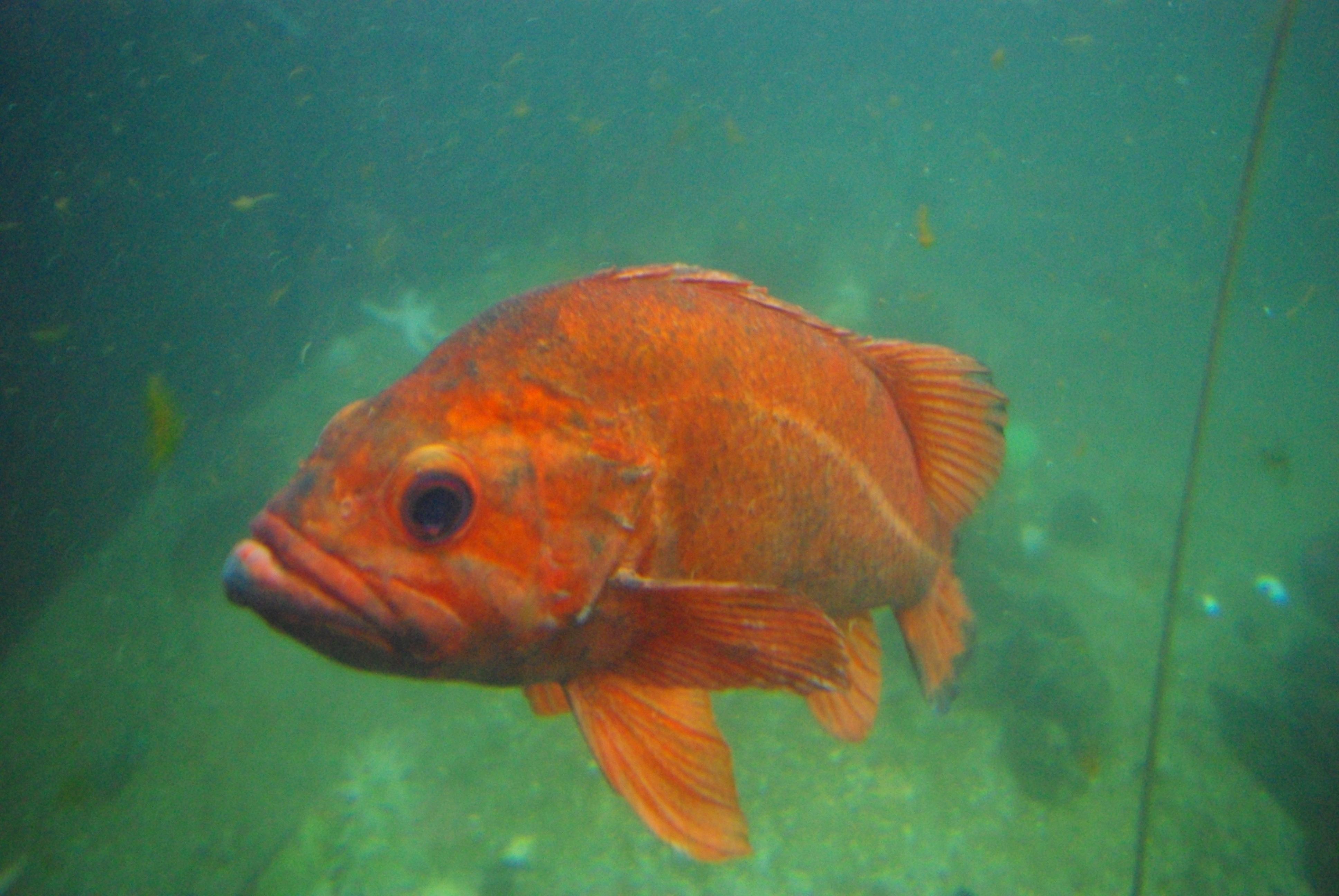 Http Commons Wikimedia Org Wiki File Orange Fish Oregon Coast Aquarium Jpg