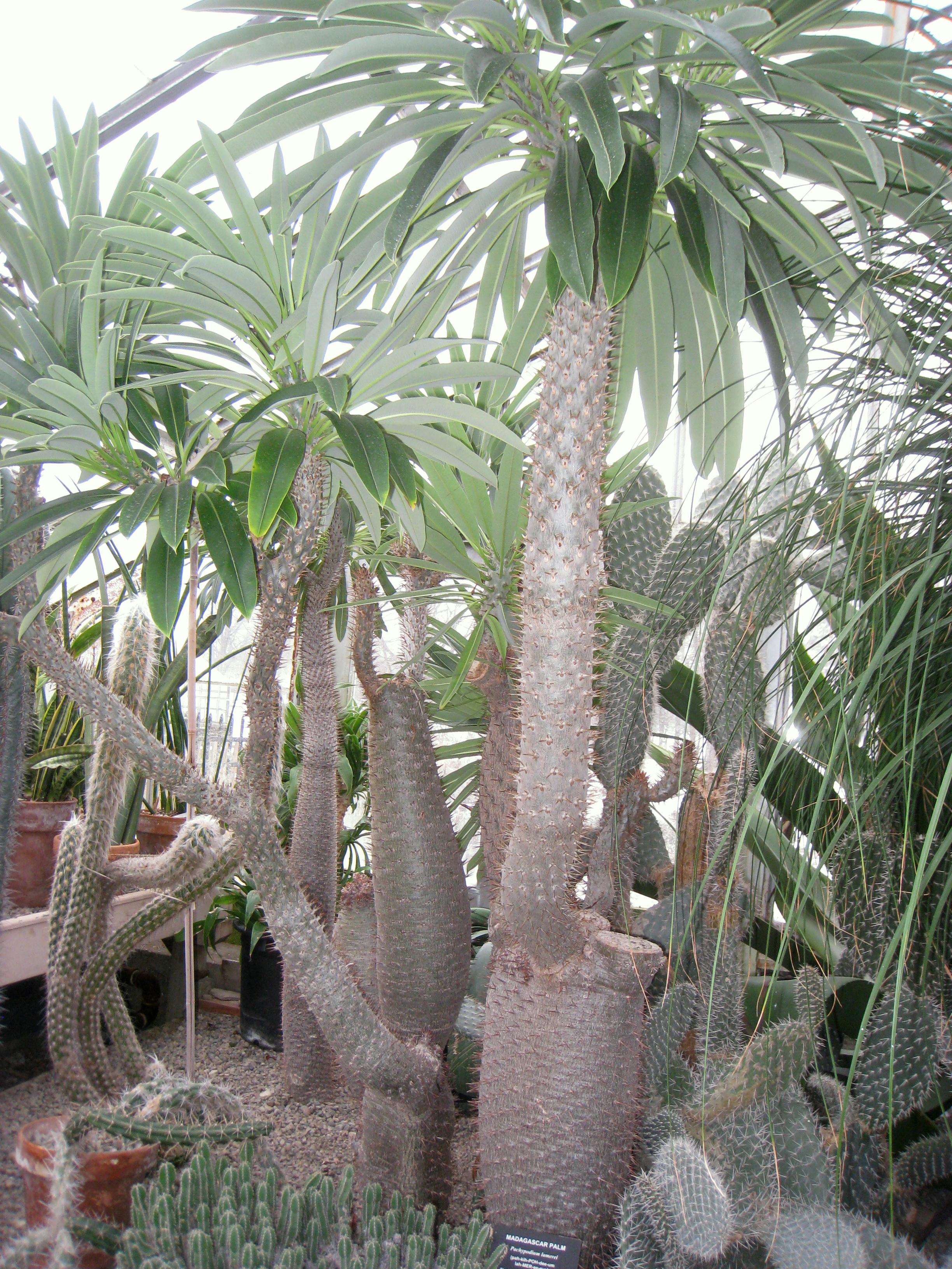 Cyphostemma laza Planta Suculenta de Madagascar enredadera