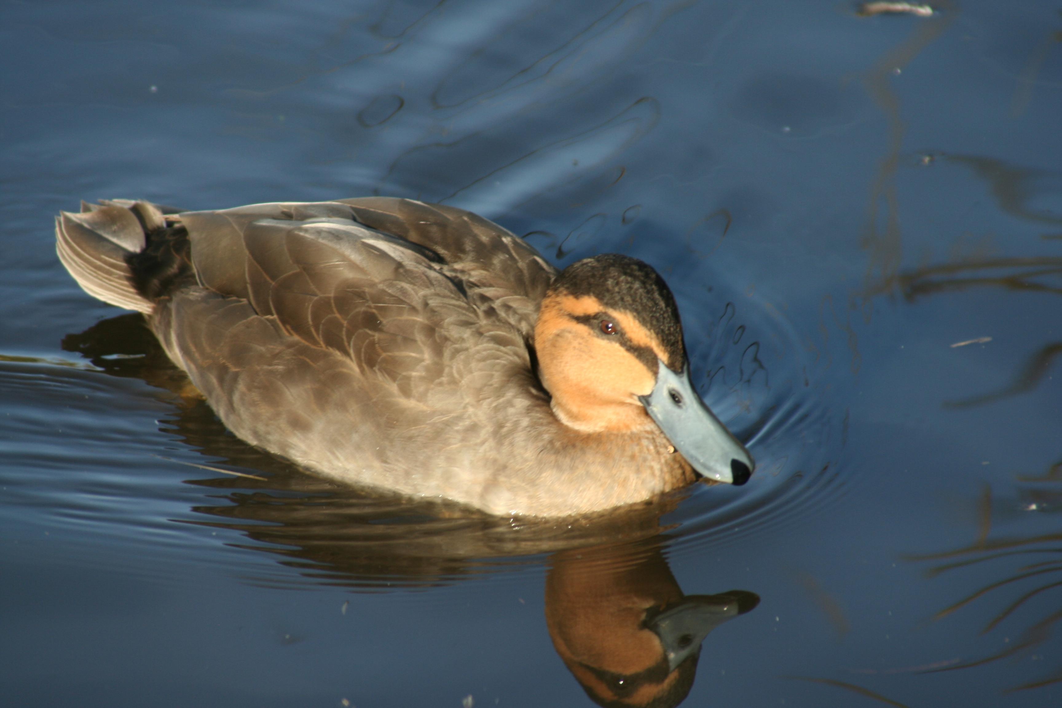 pics photos duck - photo #2