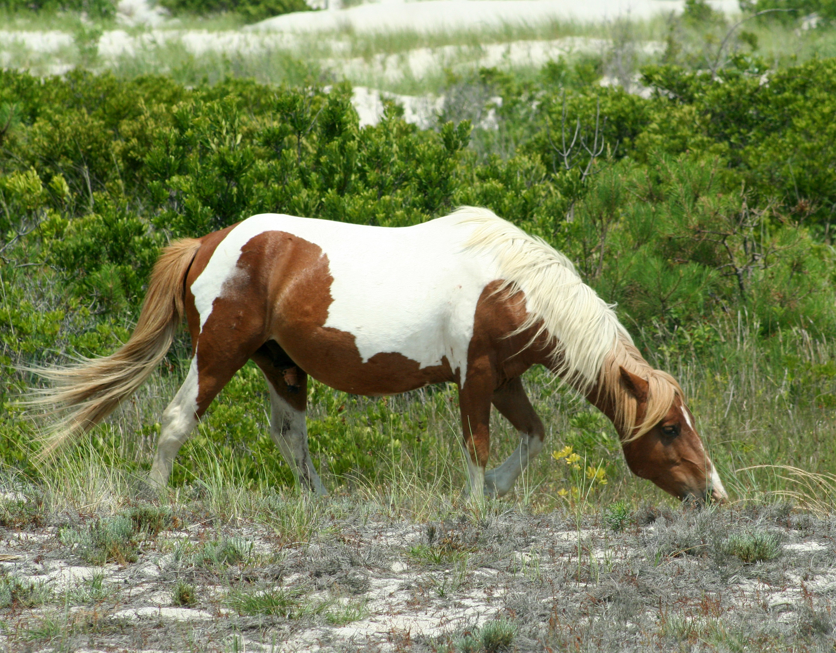 chincoteague island black dating site Assateague island national seashore assateague island is such an impressive natural treasure and serves as the site to both the chincoteague national wildlife refuge and assateague island national seashore.