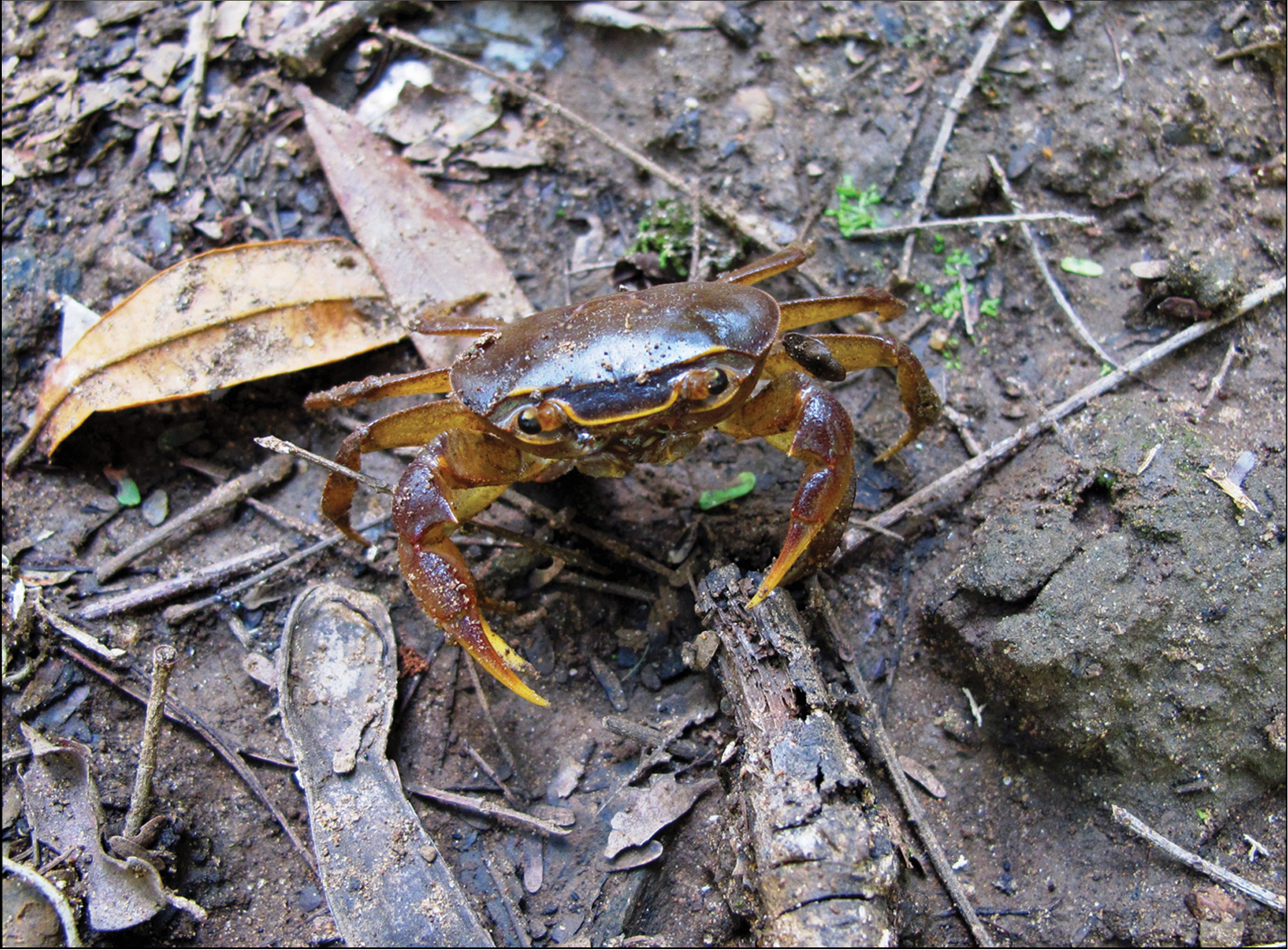 New species of freshwater crab, from Ethiopia