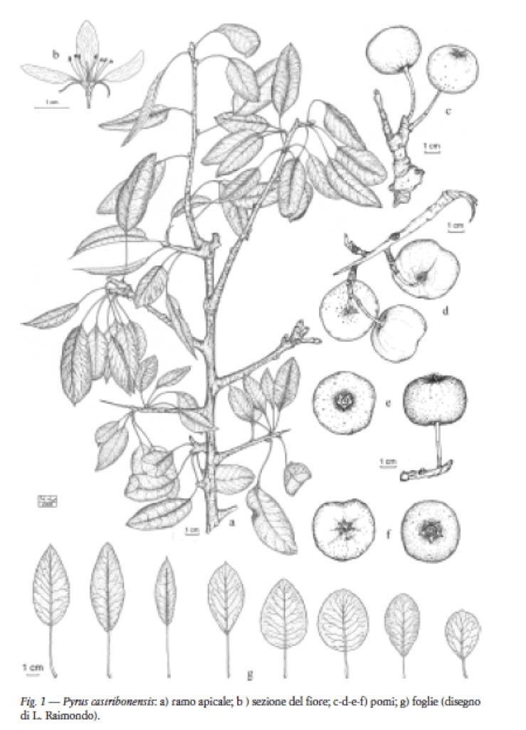 Filepyrus Castribonensispng Wikipedia