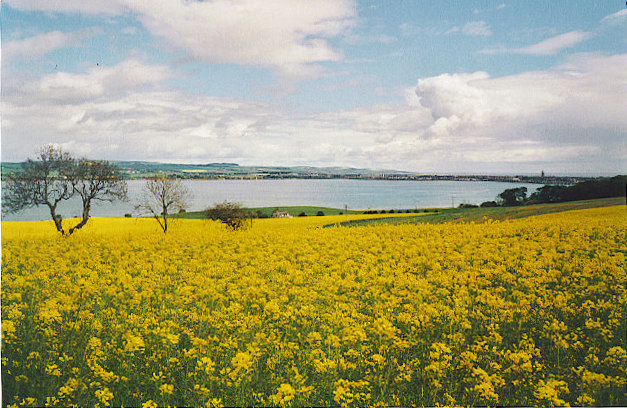 Rape field in bloom, Montrose Basin. Taken at Maryton looking NW across Montrose Basin. Montrose town is visible on the skyline - note the 200 feet high Old Steeple