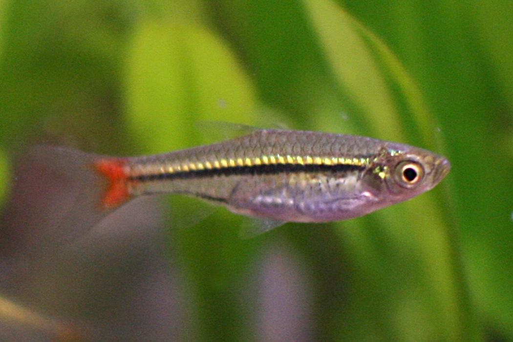 Rasboras Fish Rasbora