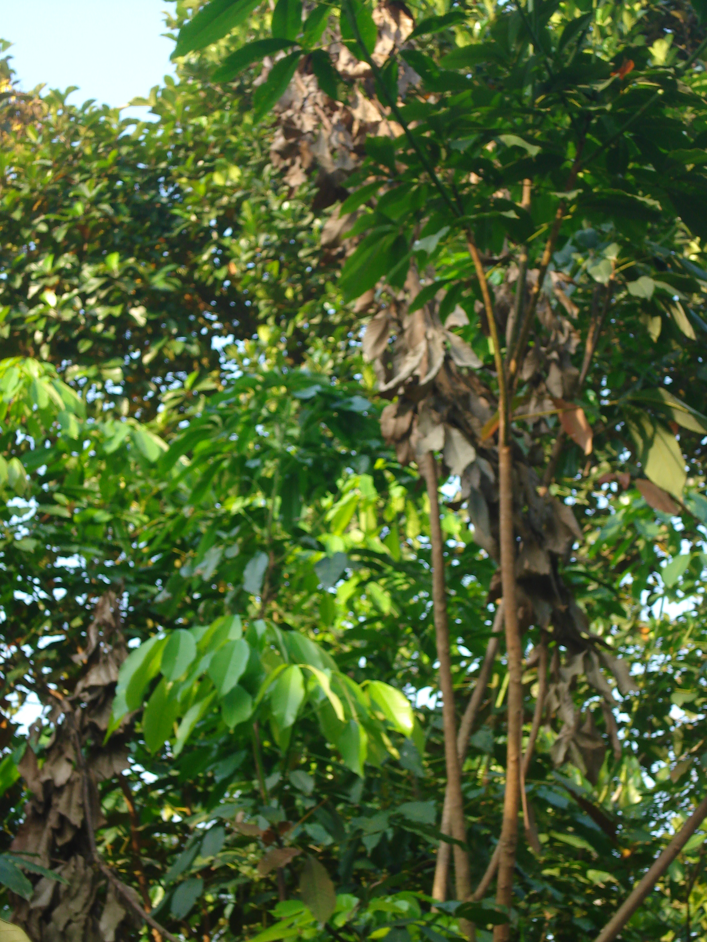 File:Rubber tree after Fungal (?) attack JPG - Wikimedia Commons