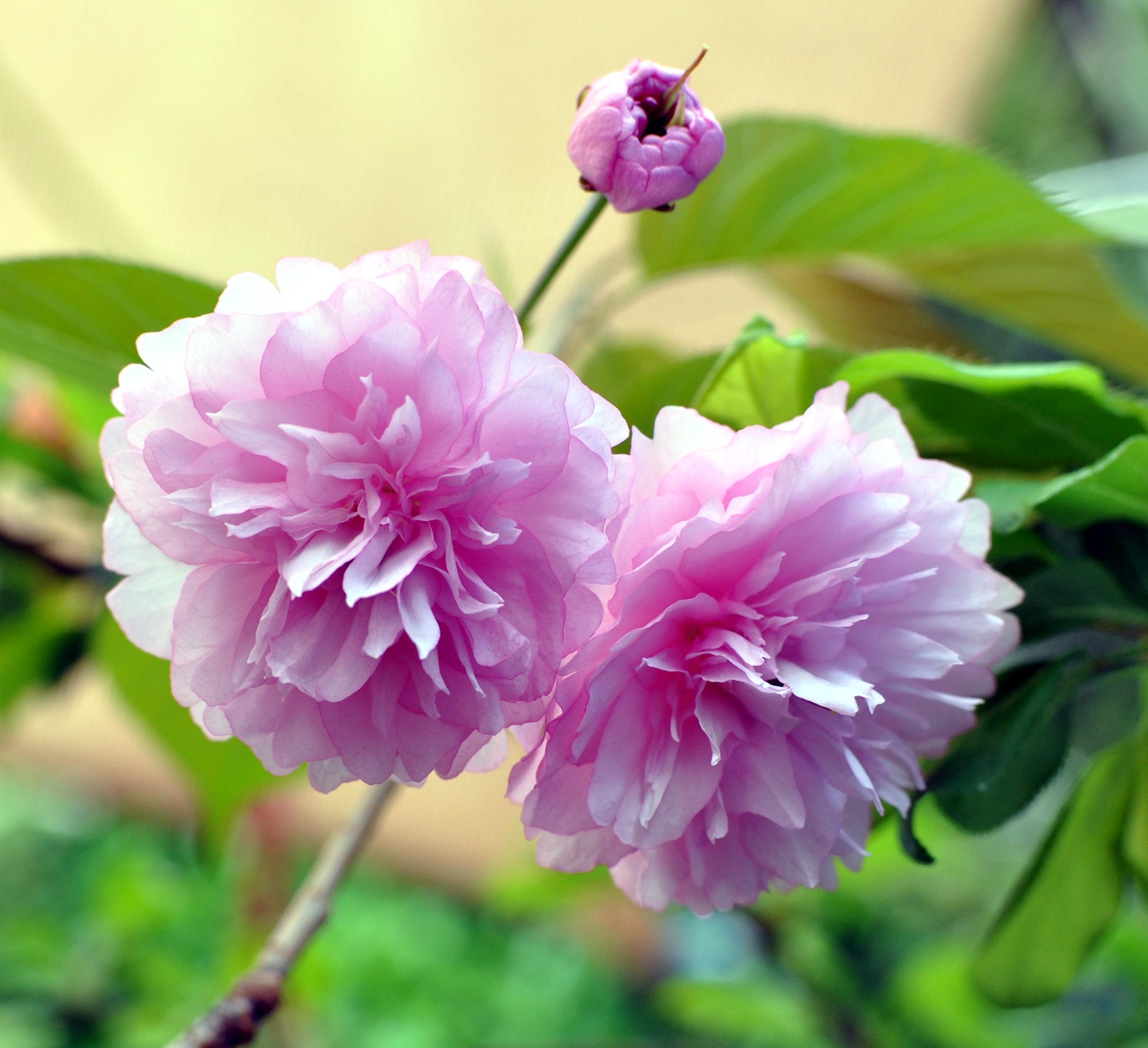 94+ Gambar Bunga Jepun Kekinian