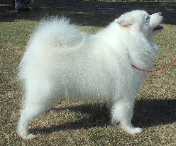 File:Samoyed 600.jpg - Wikimedia Commons