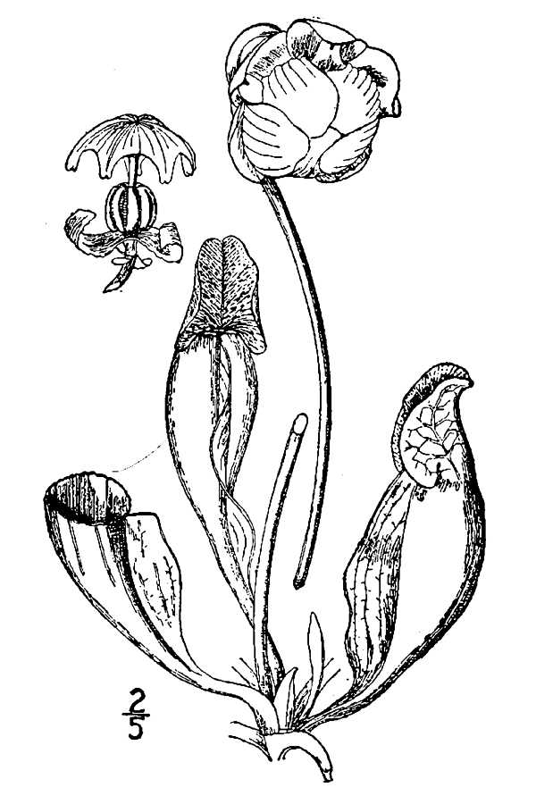 Pitcher plant drawing - photo#19