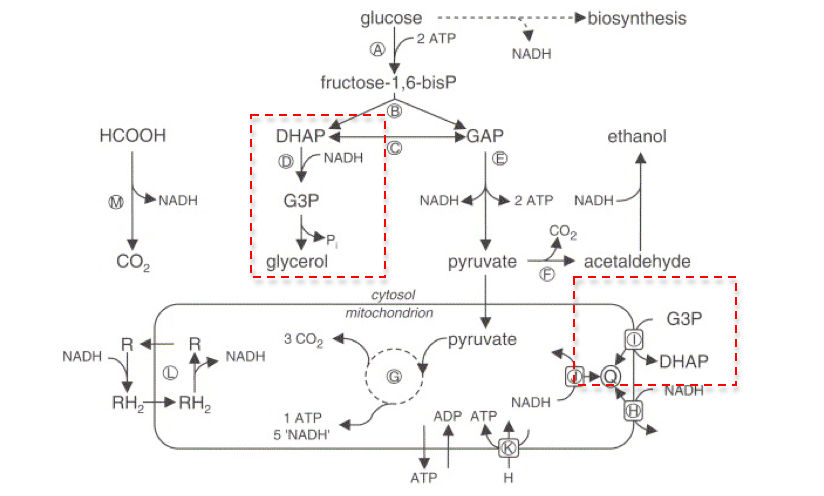 Fileschematic overview of fermentative and oxidative glucose fileschematic overview of fermentative and oxidative glucose metabolism of saccharomycg ccuart Image collections