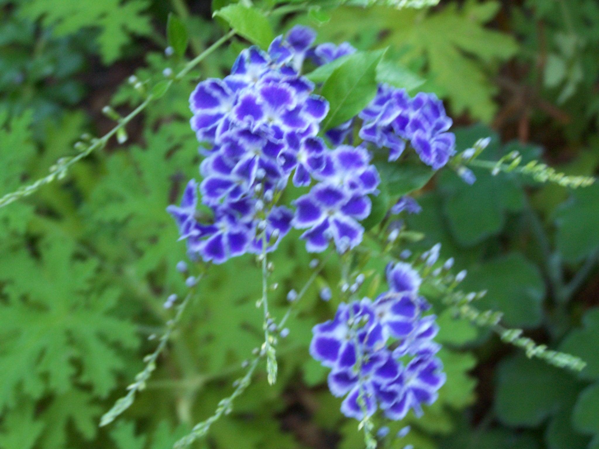 Filesmall Purple Flowersg Wikimedia Commons