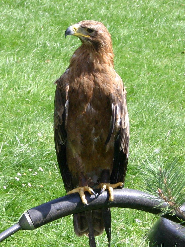 Wikipedia Steppe Eagle User:steppe Eagle