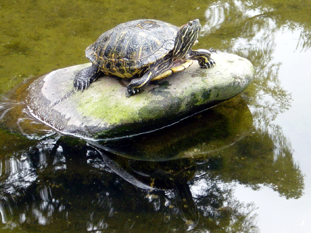 file turtle in pond