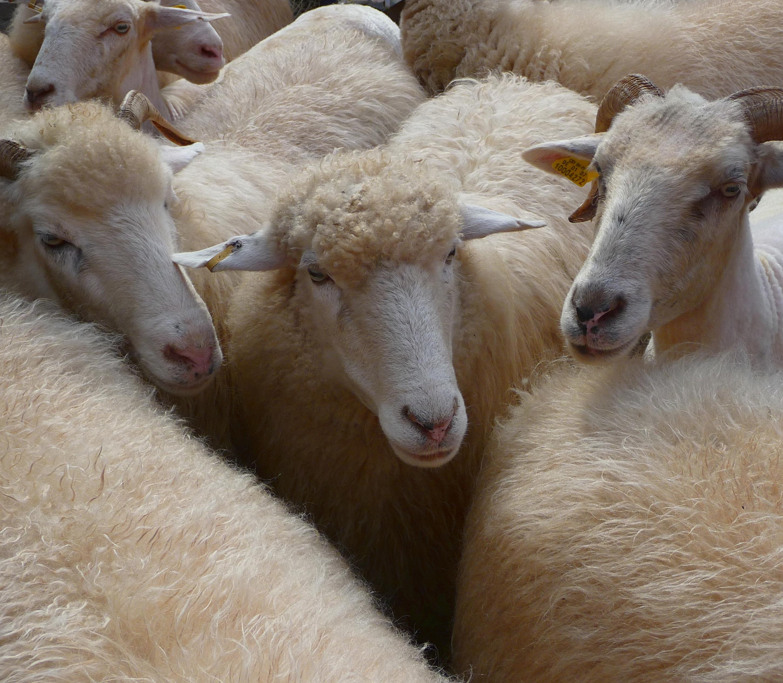 bertolt brecht sheep
