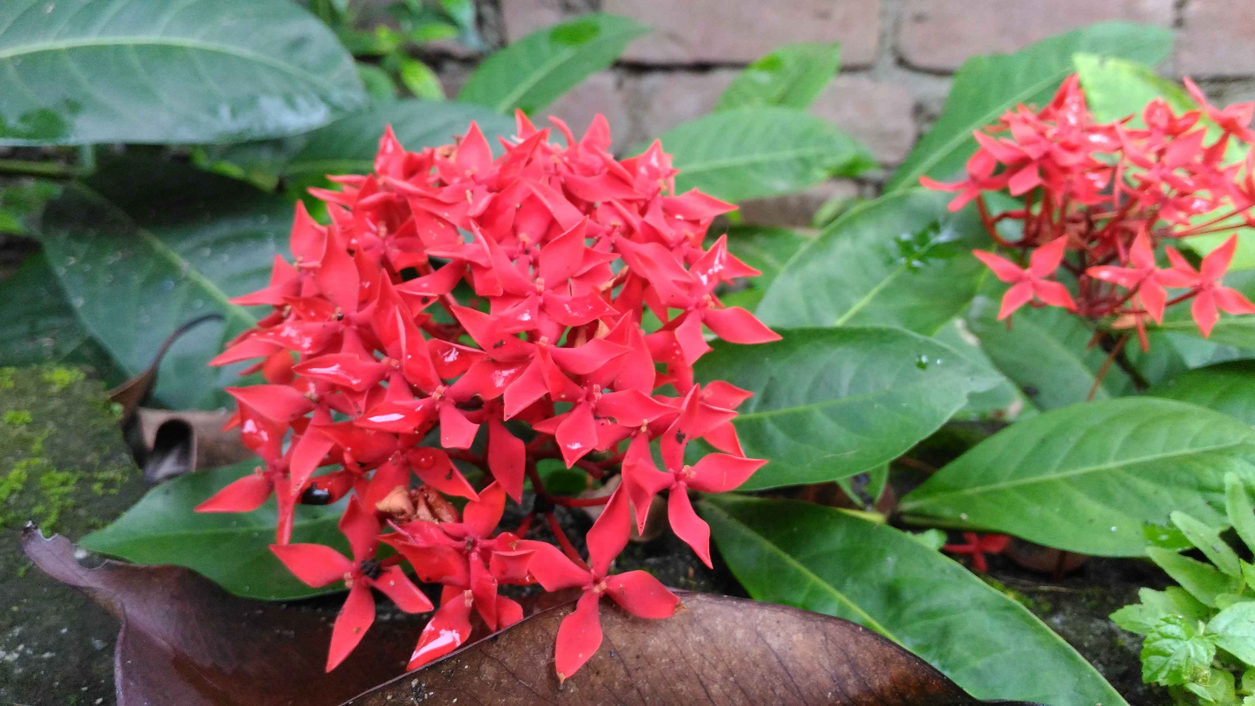 Filewest indian jasmine flower bunchg wikimedia commons filewest indian jasmine flower bunchg izmirmasajfo