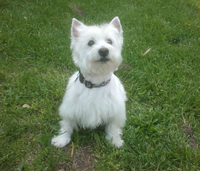 Small White Short Haired Dog Breeds