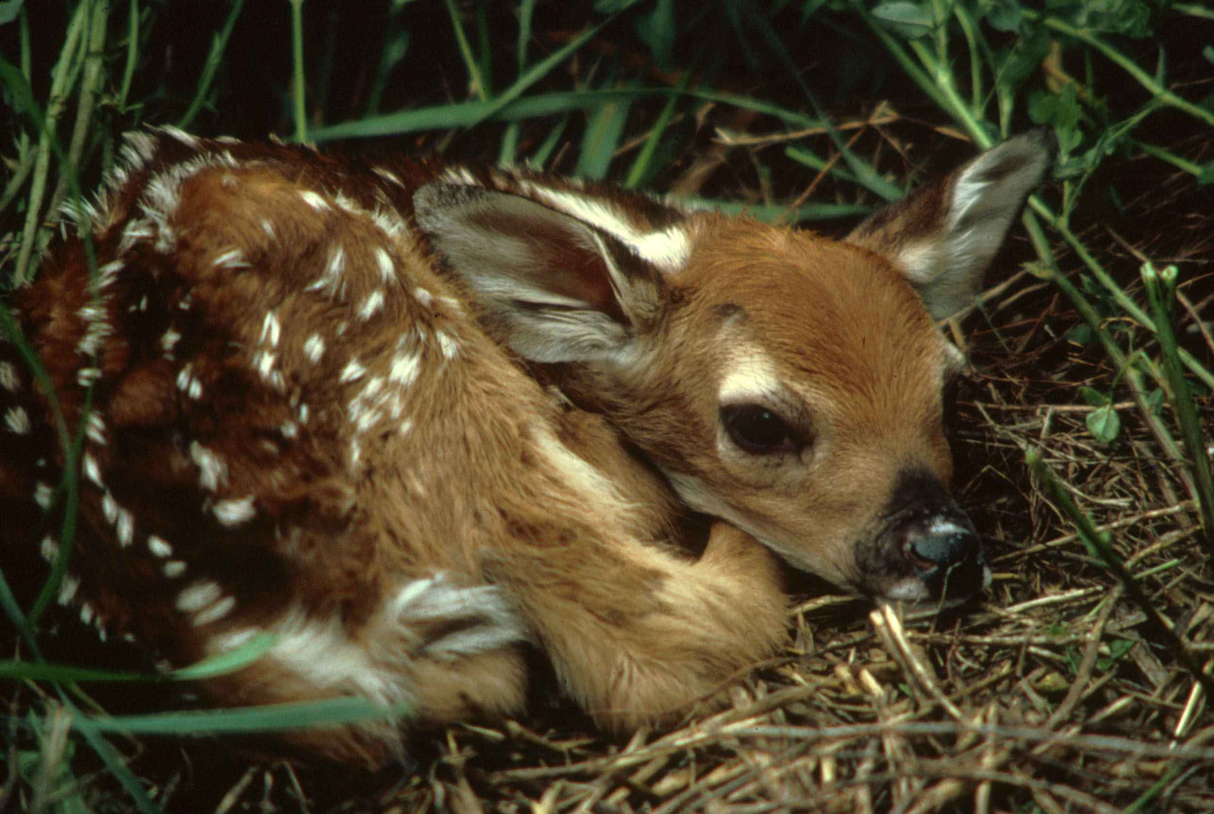 File:White tailed deer fawn in grass odocoileus ... - photo#20