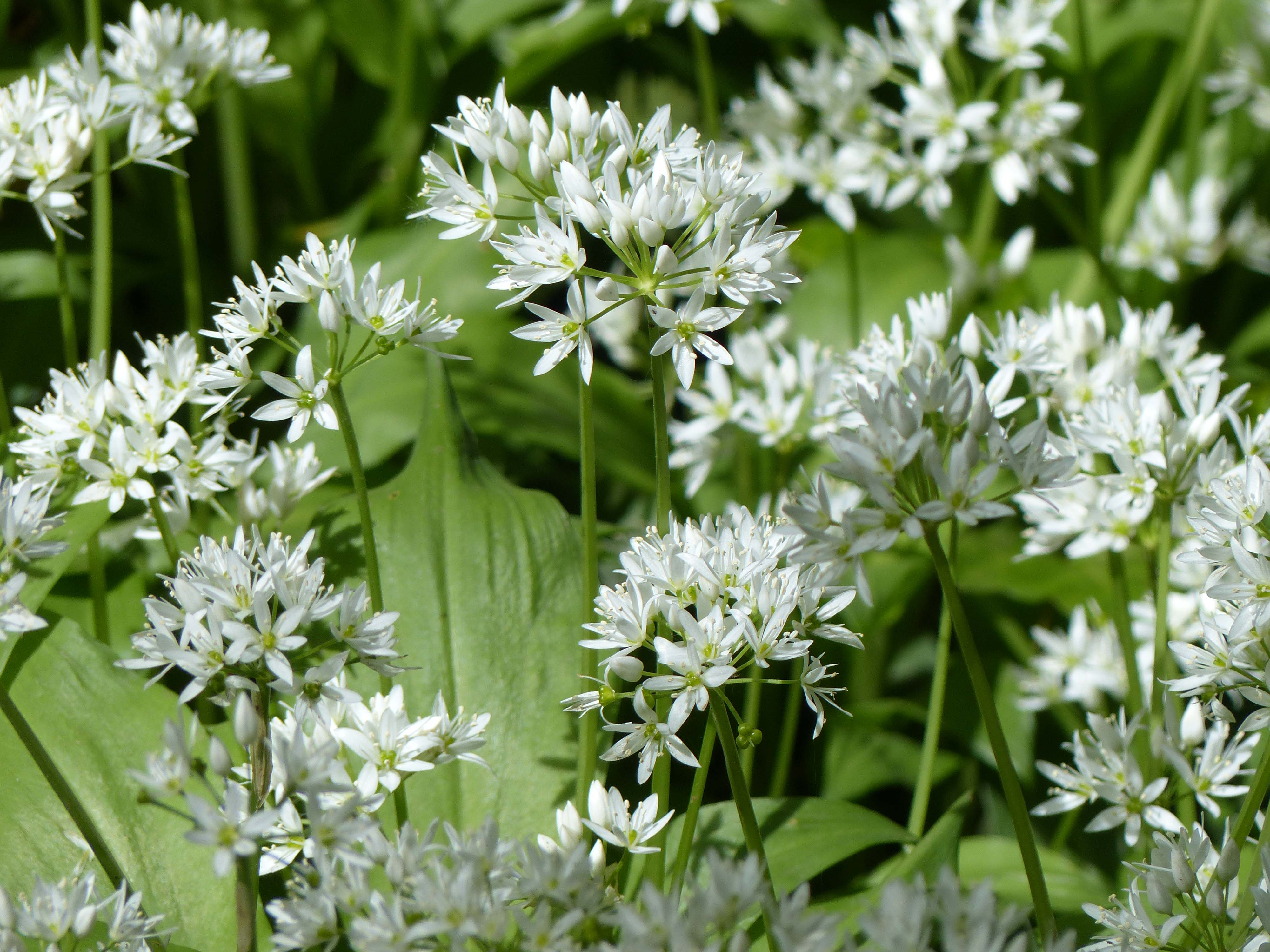 file wild garlic allium ursinum wikimedia commons. Black Bedroom Furniture Sets. Home Design Ideas