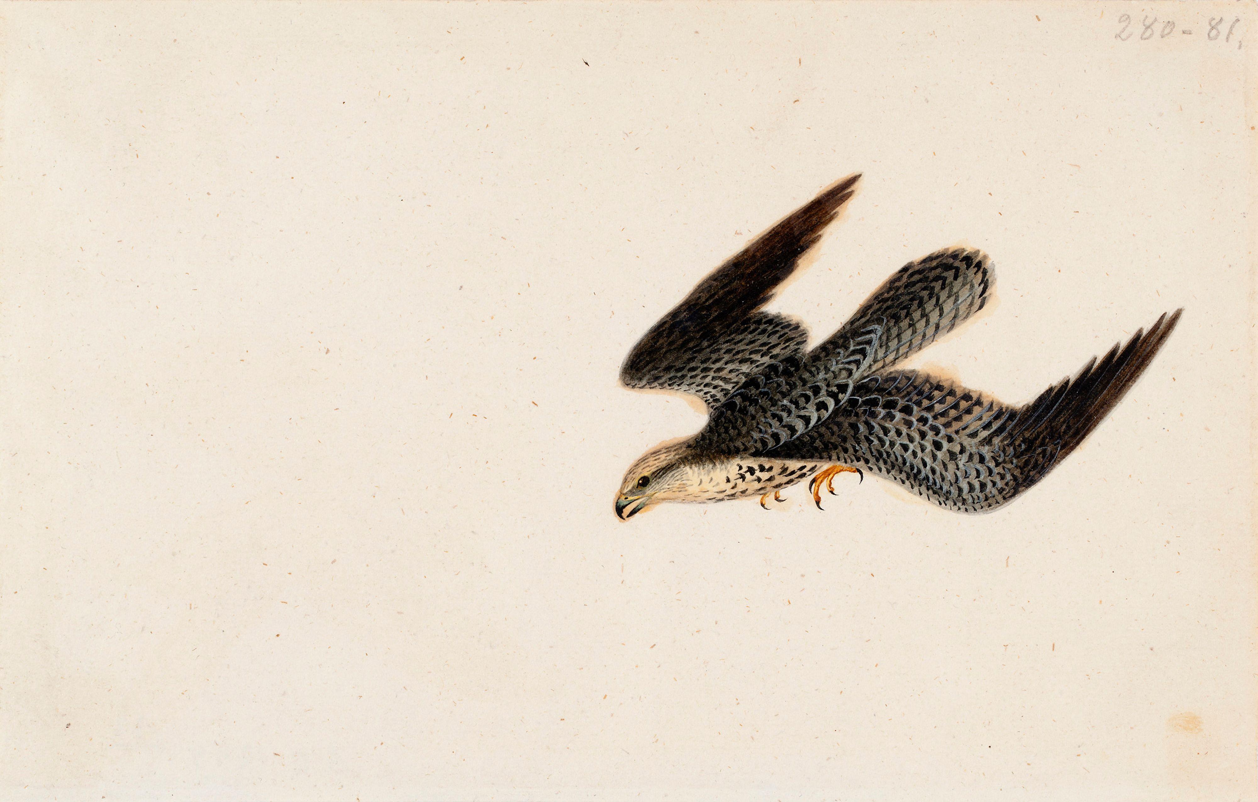 Filewilhelm Von Wright Eurasian Sparrowhawk Flying A Ii