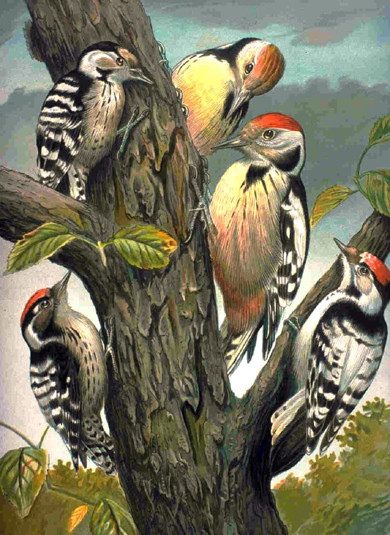 file woodpeckers  family picoides png