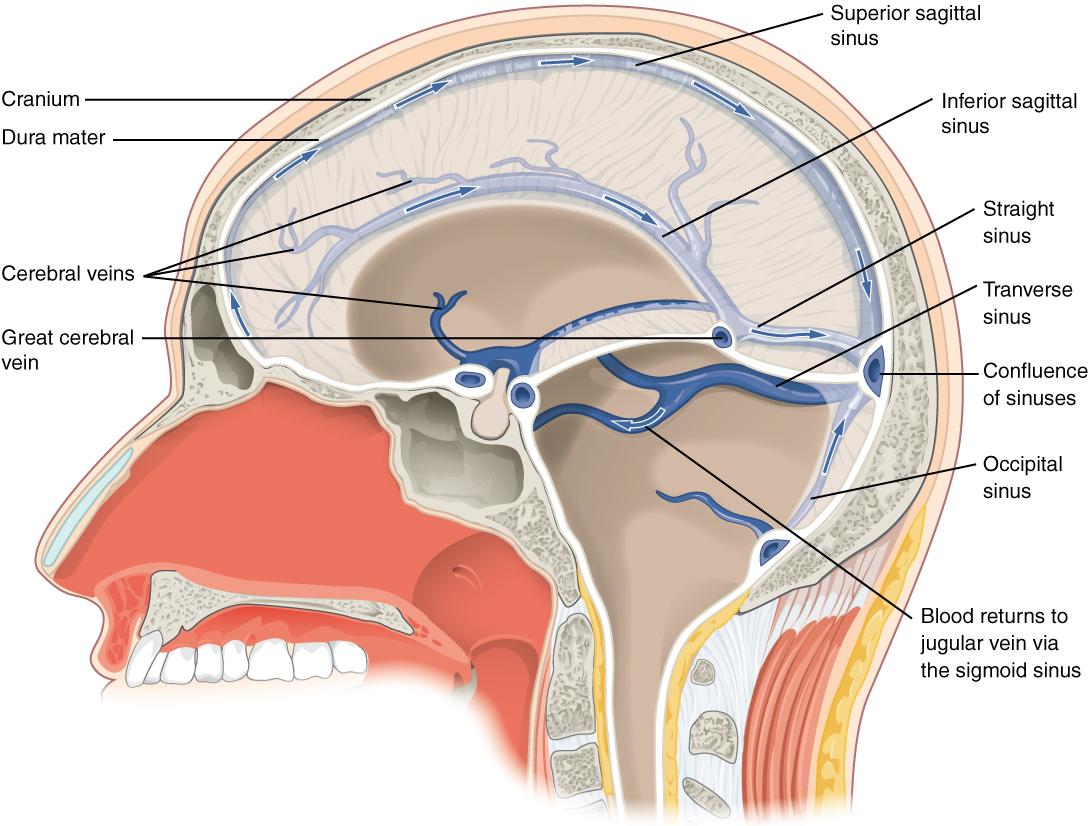 ventricular system - wikipedia, Human Body
