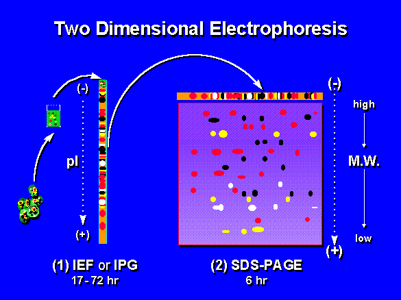 A description of 2D electrophoresis.
