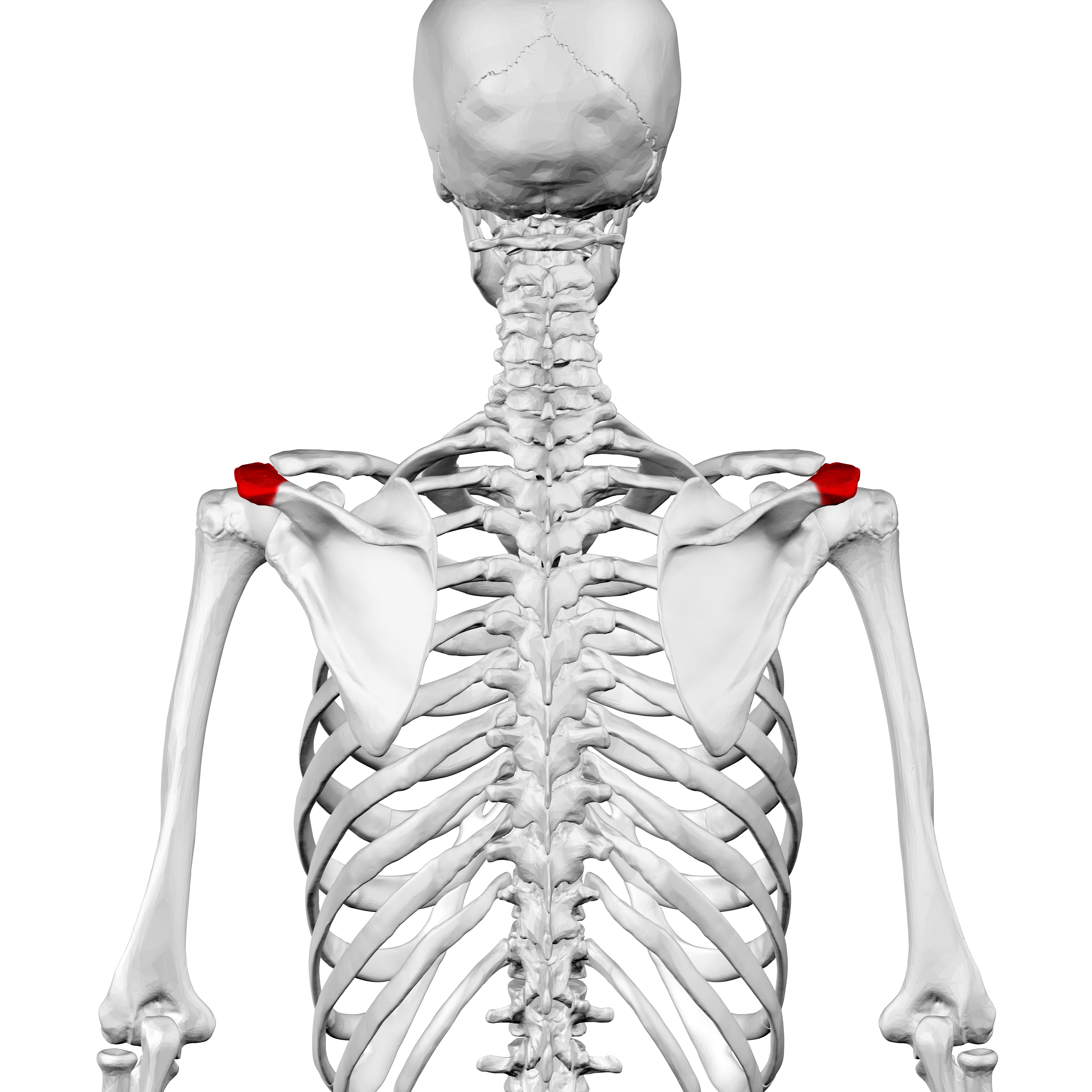 Acromion of scapula
