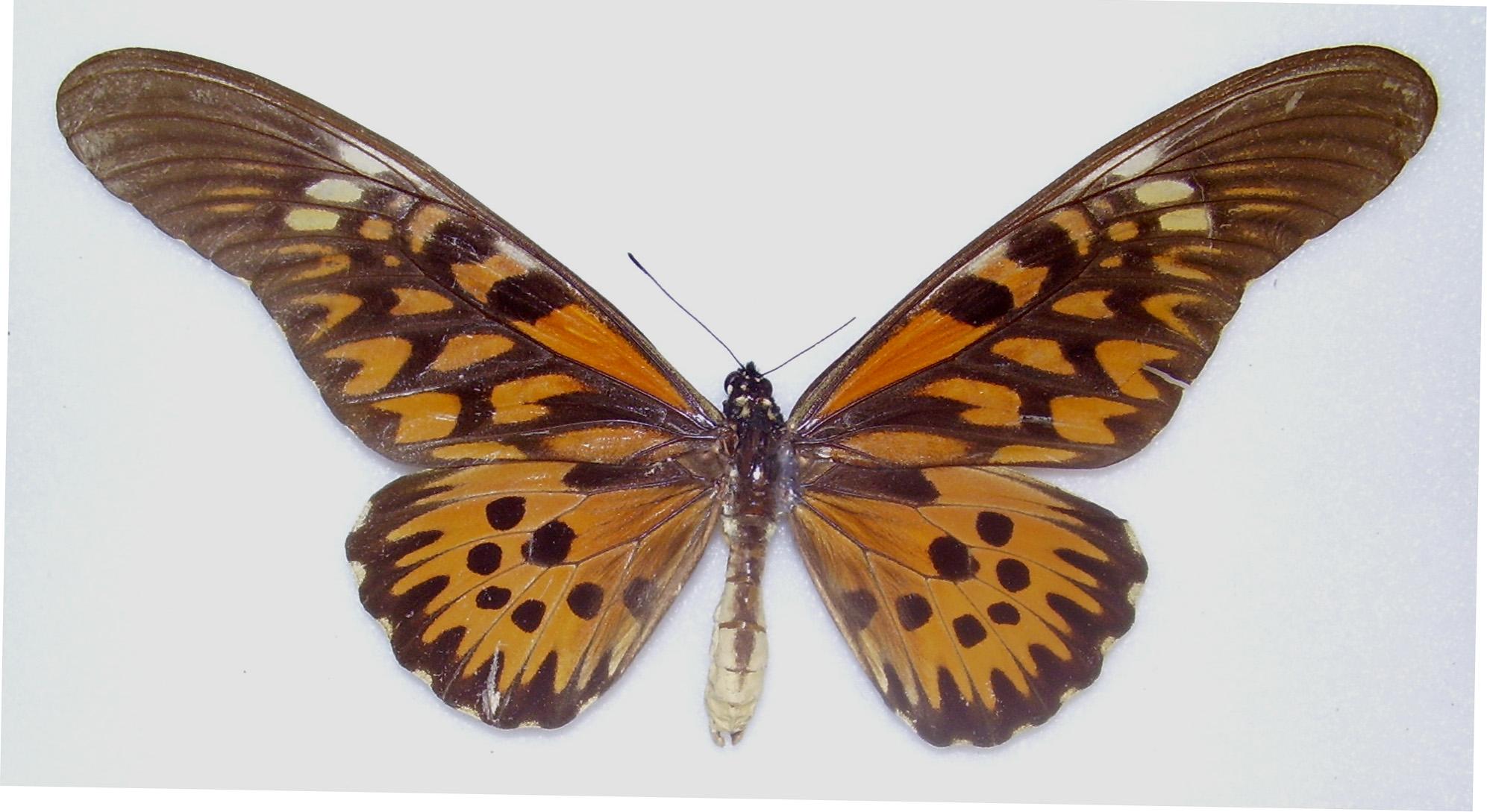 Papilio atimachus