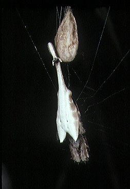 Arachnura.logio.female.with.eggsac.-.tanikawa.jpg