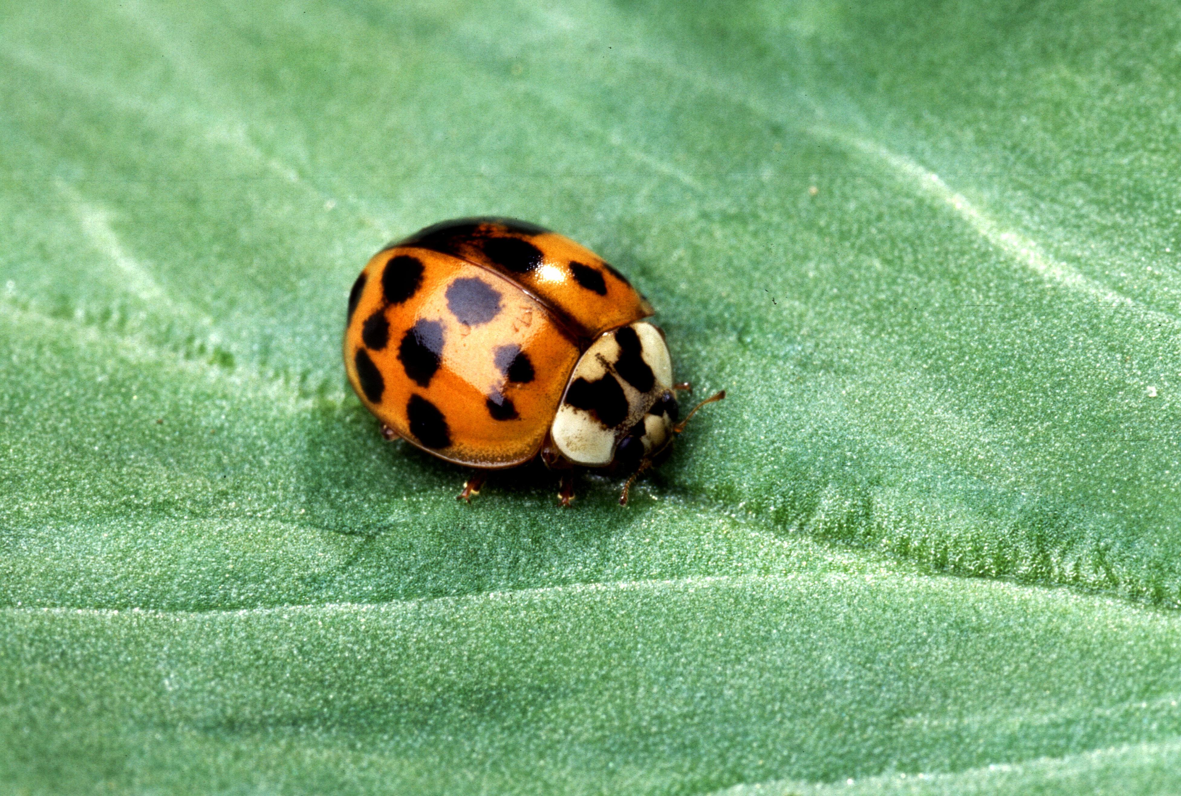 Asian Beetles 26