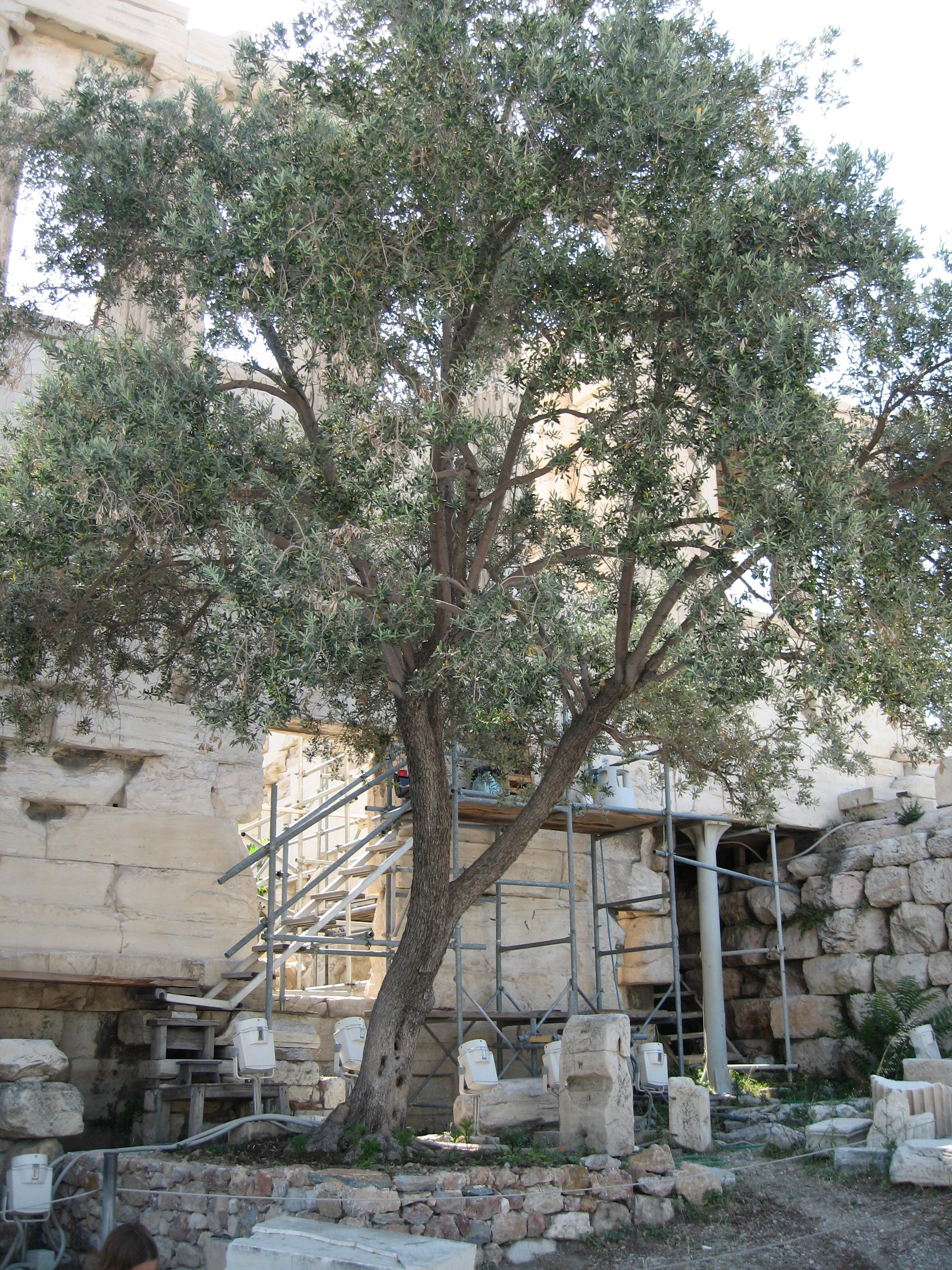 Athena olive tree | Etsy