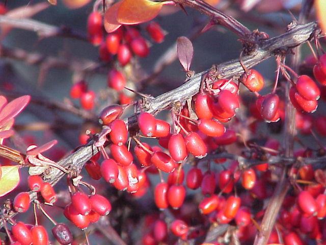 Berberis linearifolia0