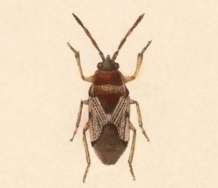 <i>Cligenes</i> Genus of true bugs
