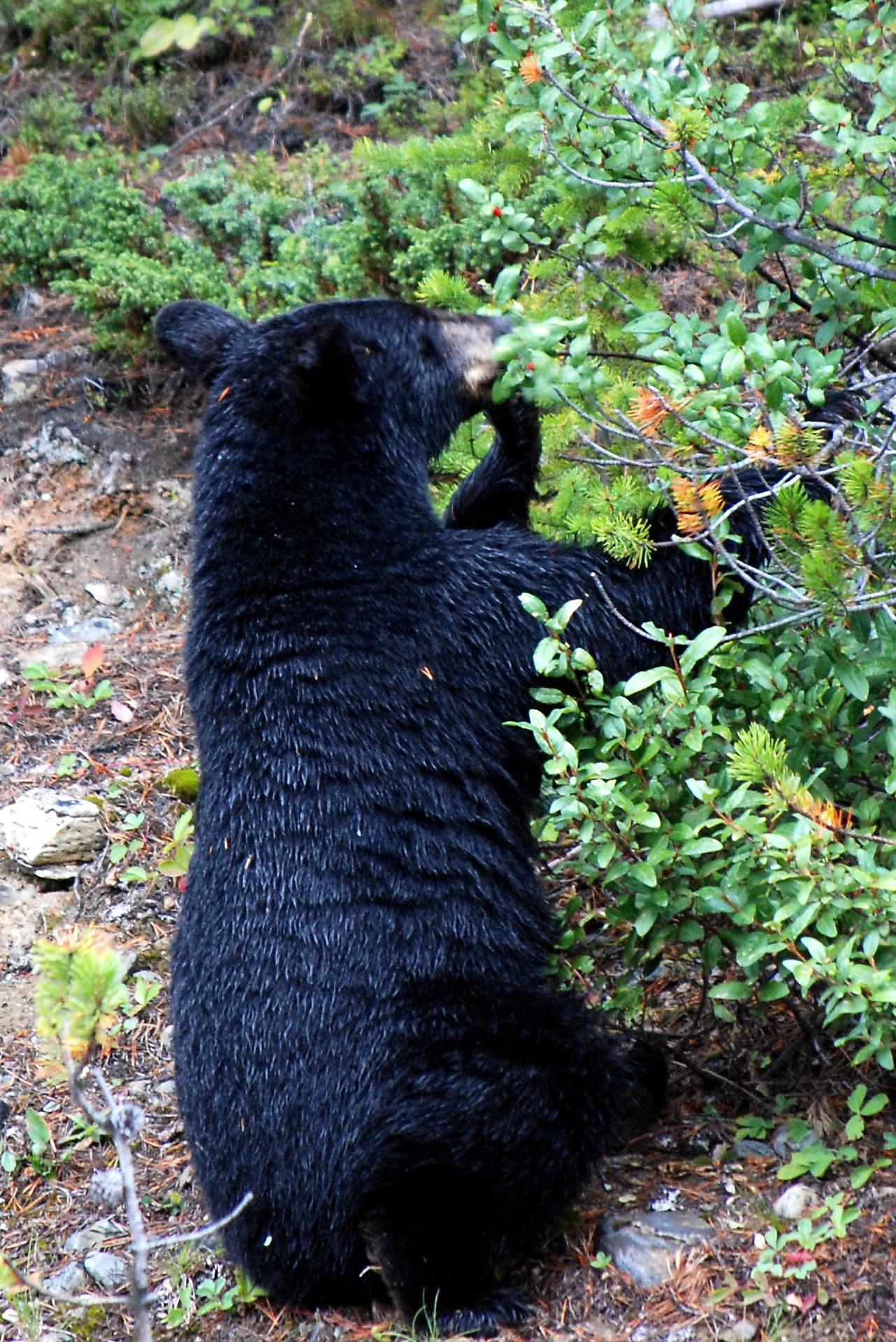 Black_Bear_Lake_Louise.jpg