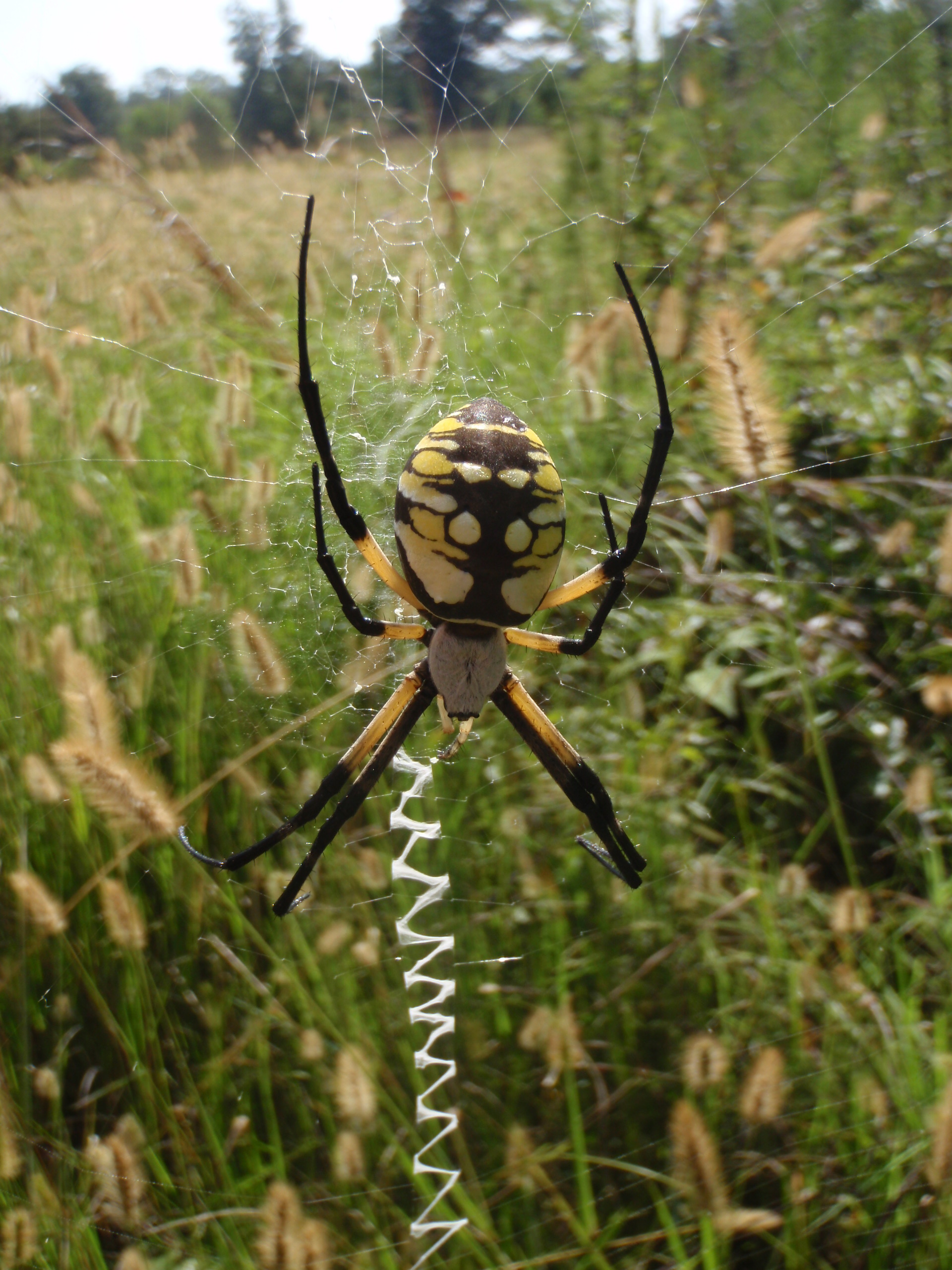 File:Black and Yellow Garden Spider, Argiope aurantia;giant colorful ...