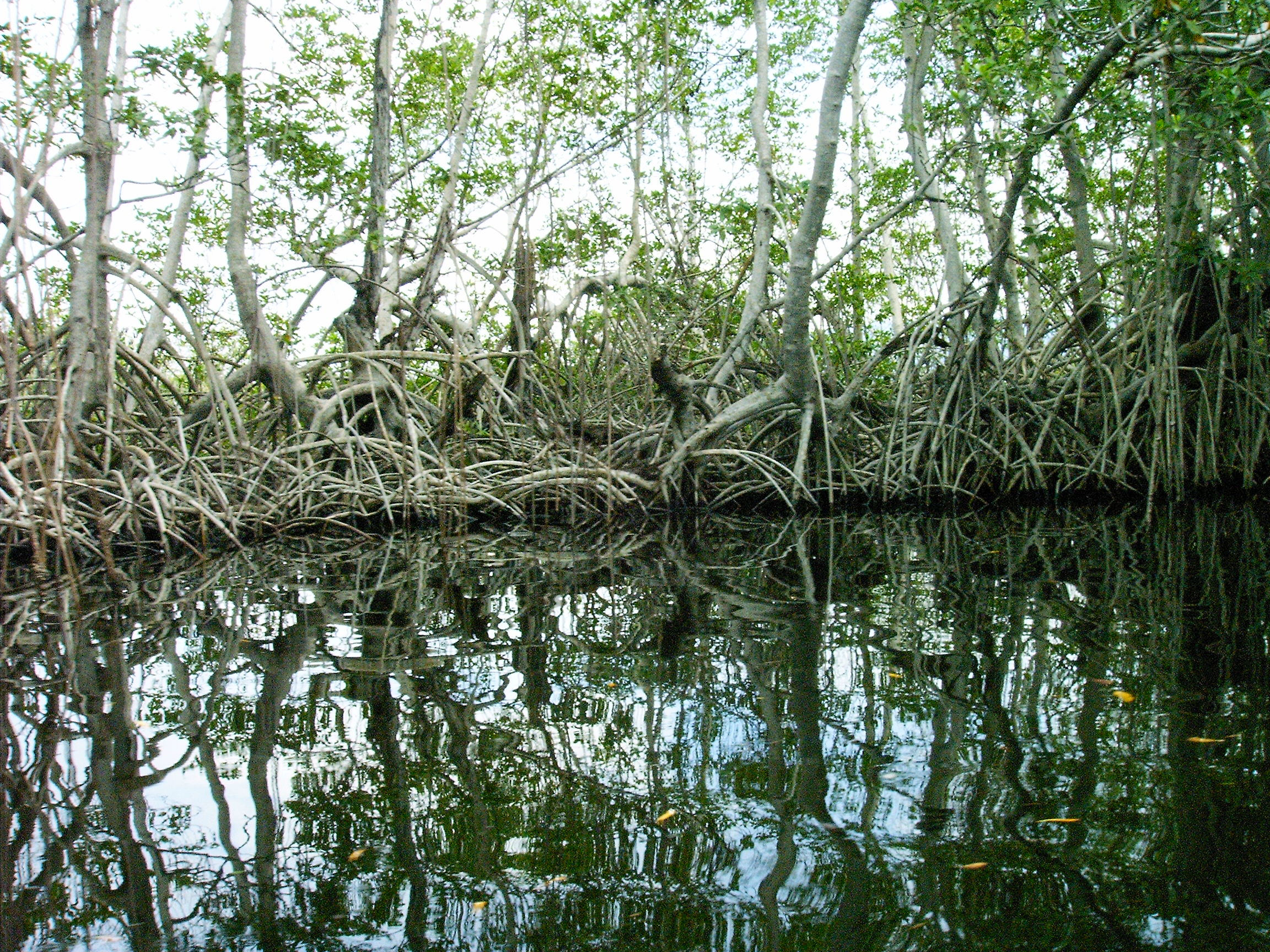 Mangroves in Jamaica