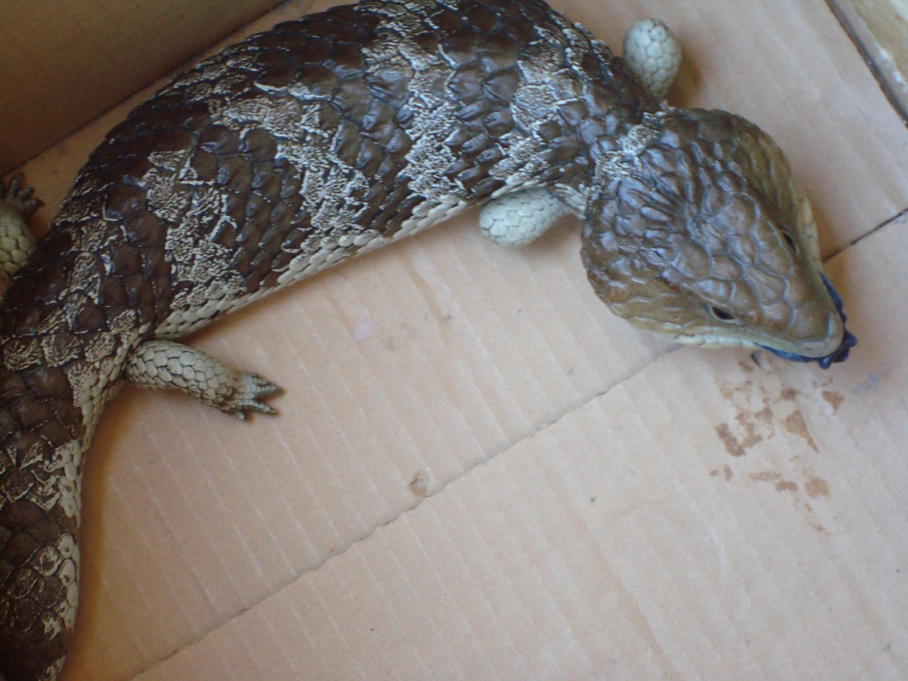 how to catch a blue tongue lizard