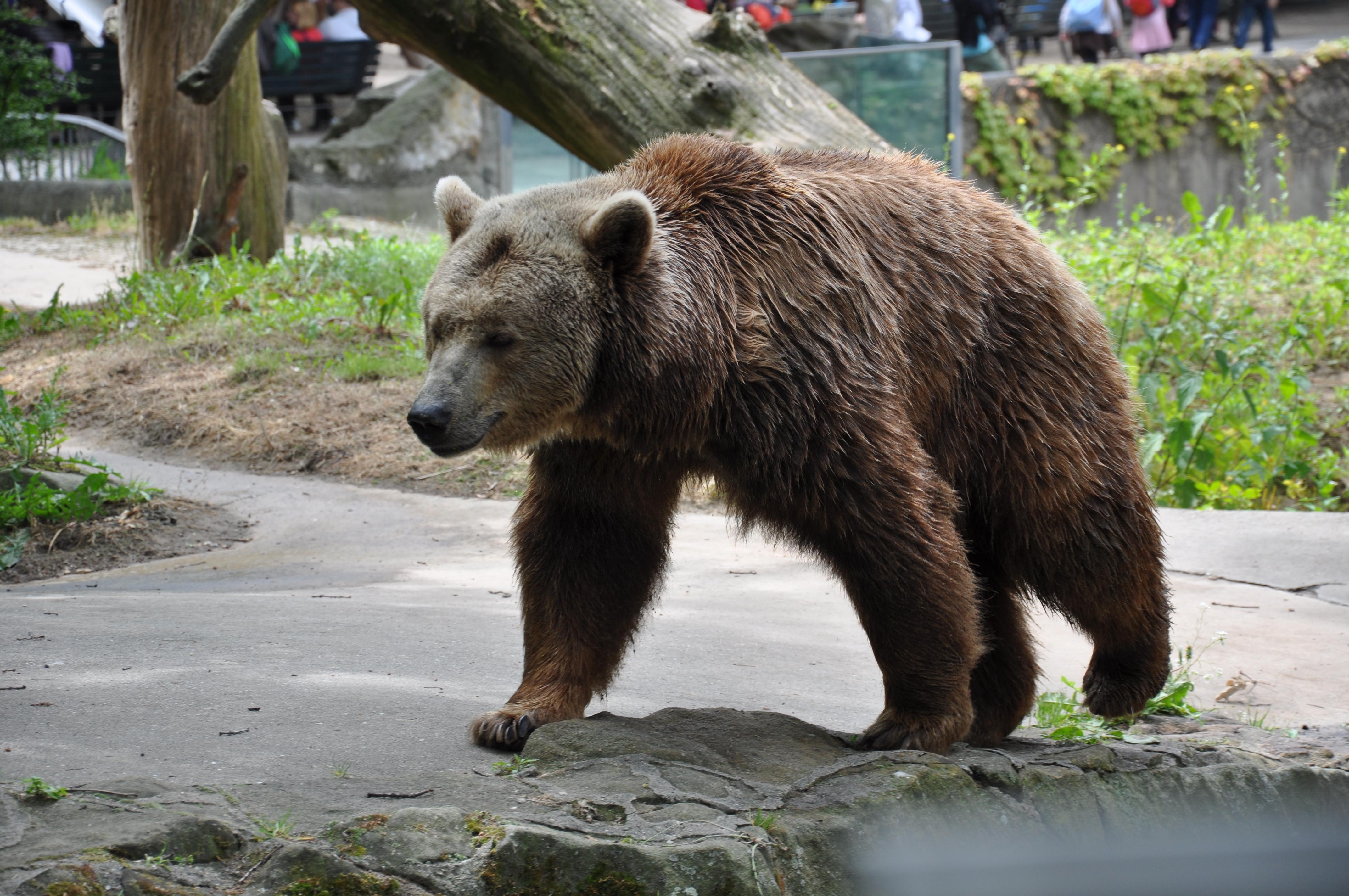 File:Braunbär Berlin Zoo img01.jpg - Wikimedia Commons