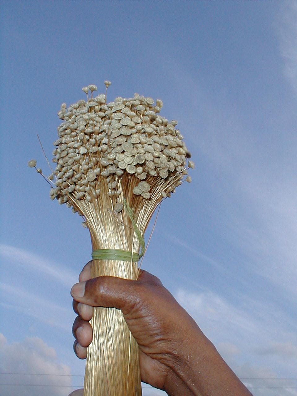 Syngonanthus nitens - Wikipedia