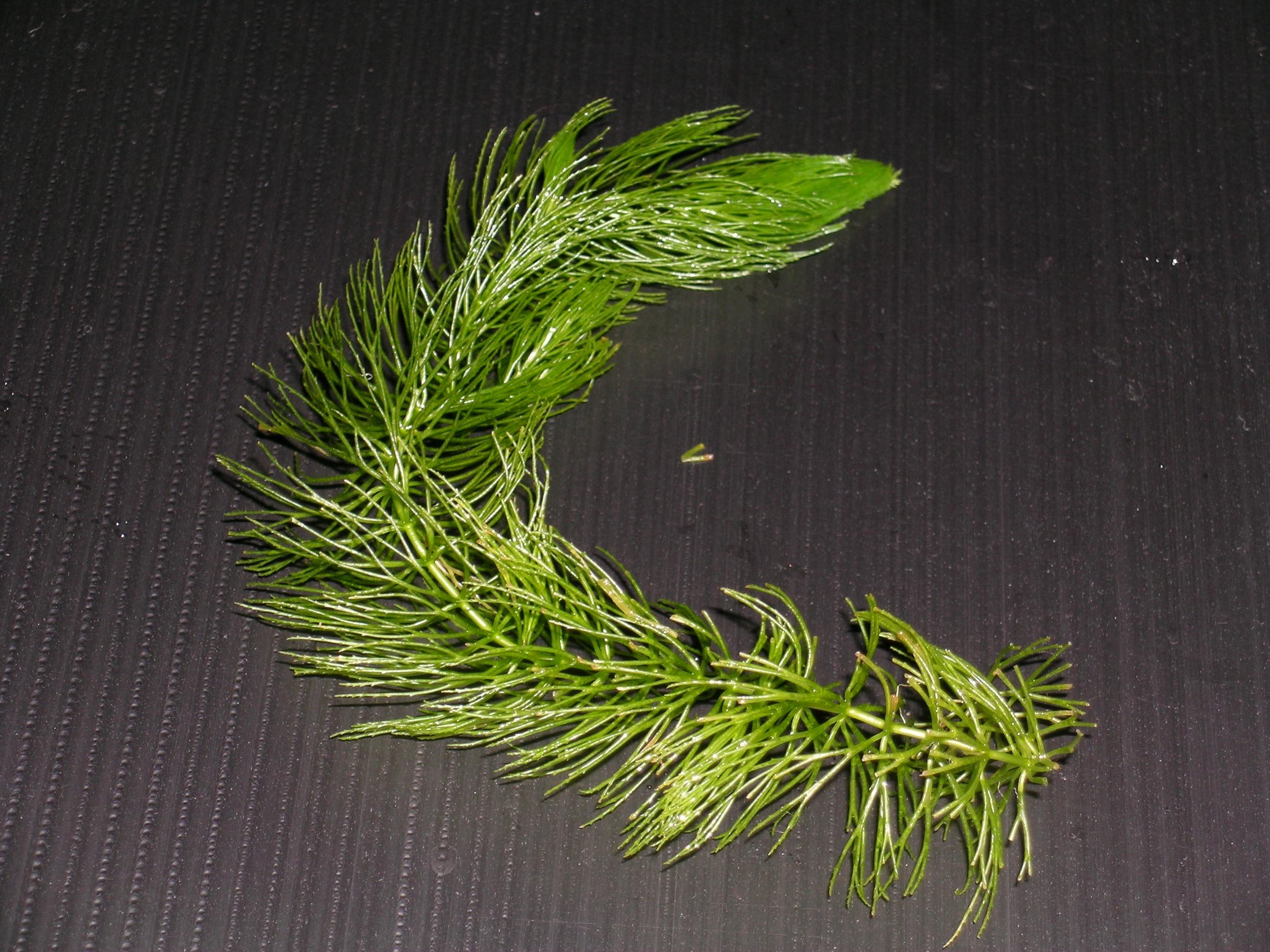 Ceratophyllum demersum var.demersum..JPG