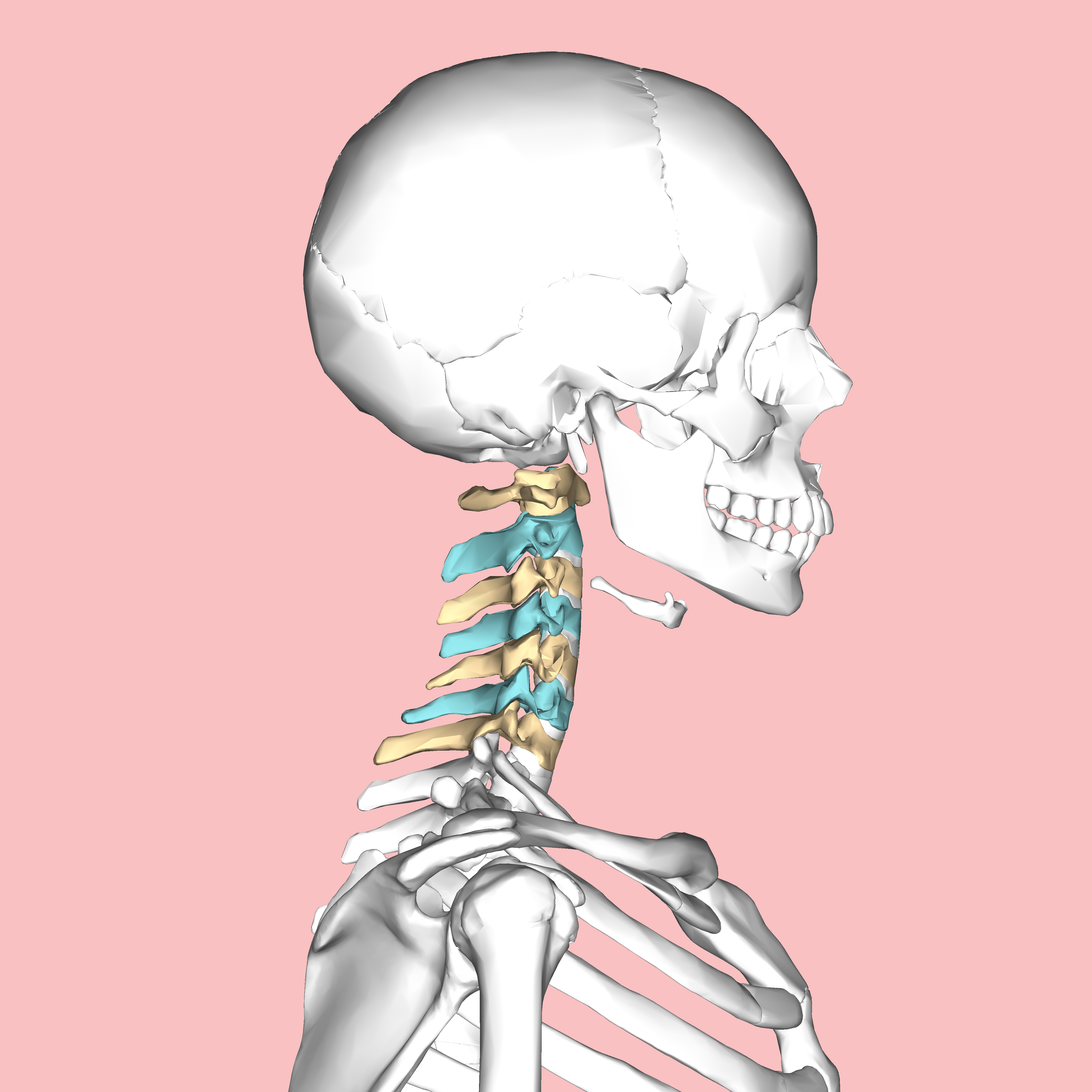 File:Cervical vertebrae lateral3.png - Wikimedia Commons