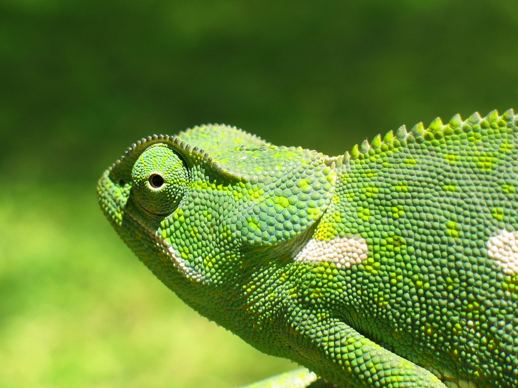 http://upload.wikimedia.org/wikipedia/commons/a/a2/Chameleon_2006-01.jpg