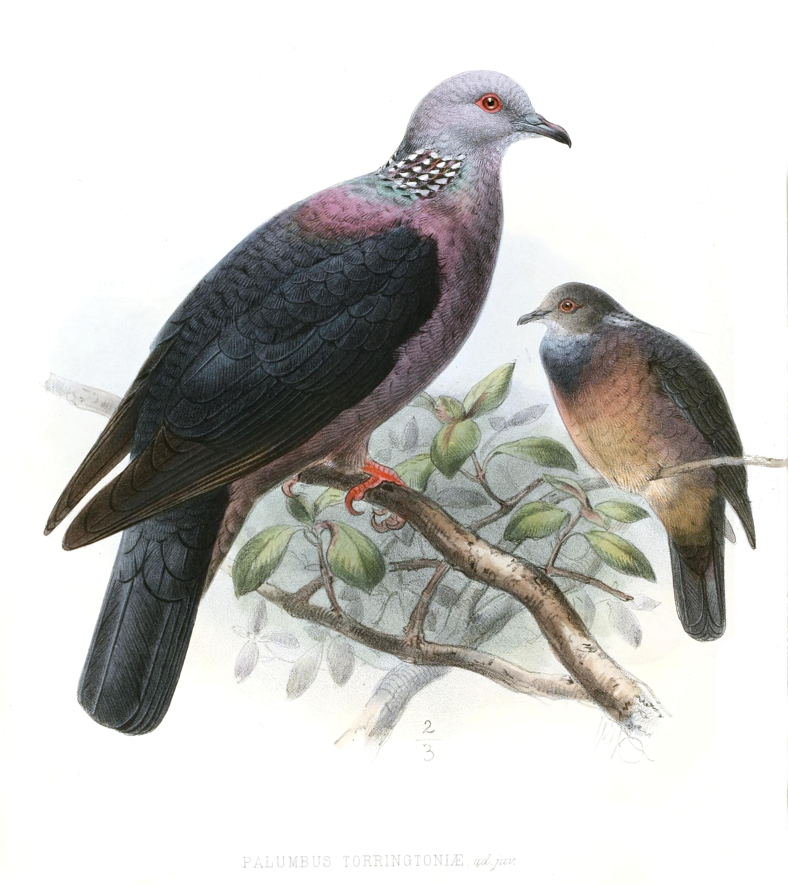 Sri Lanka Wood Pigeon Wikipedia