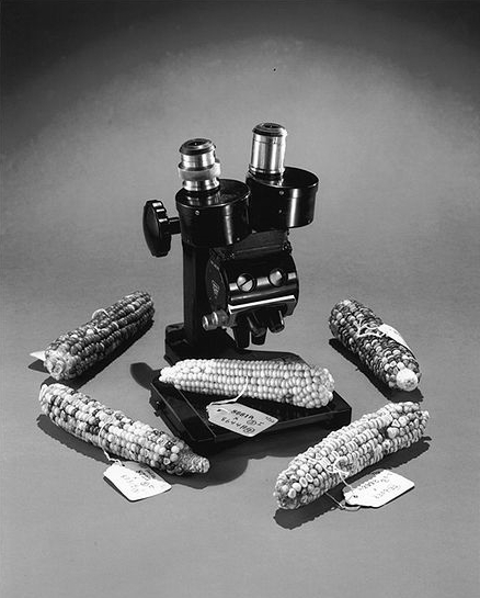 McClintock's microscope and ears of corn on exhibition at the National Museum of Natural History in Washington, D.C. Corn and microscope.jpg