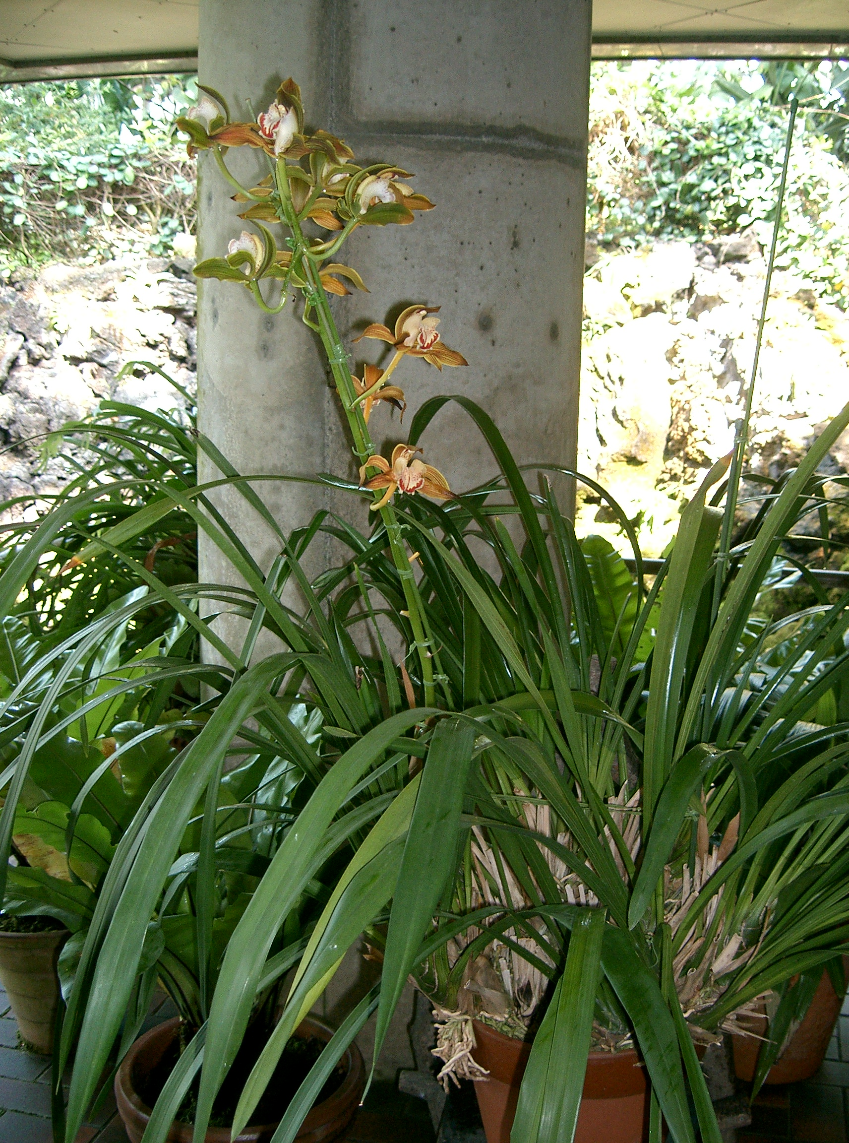 http://upload.wikimedia.org/wikipedia/commons/a/a2/Cymbidium_tracyanum1.jpg