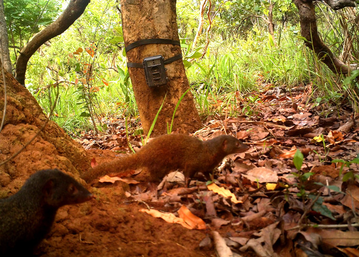 The average litter size of a Pousargues's mongoose is 4
