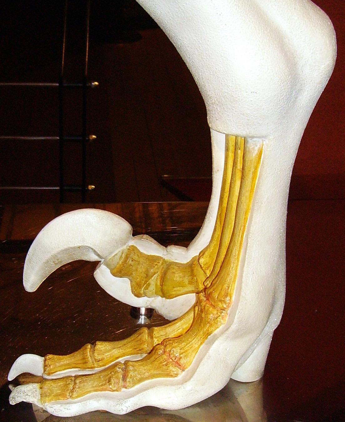 Dromaeosaurid foot NHM.jpg