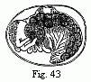 Edriophthalma-43.png