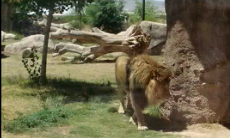 File:Ep zoo lion.jpeg
