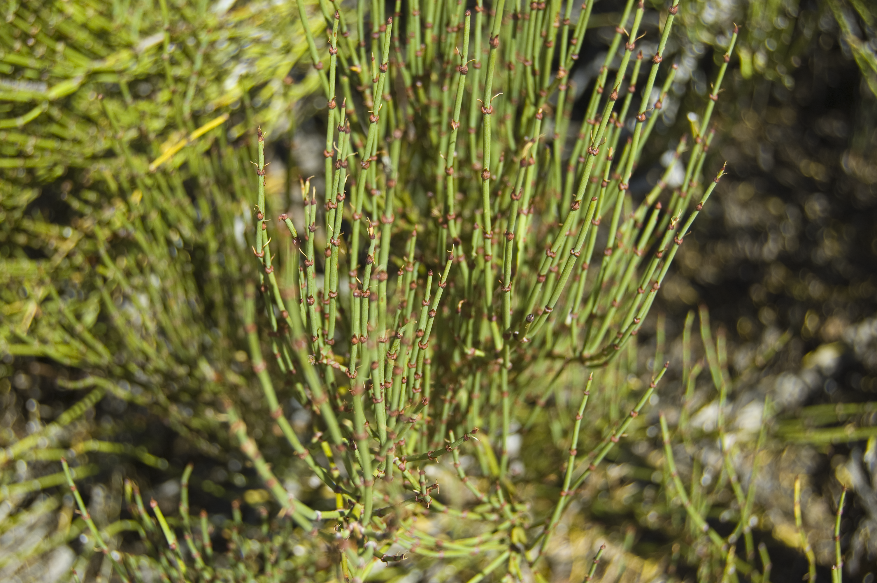 File:Ephedra viridis in Natural Bridges National Monument