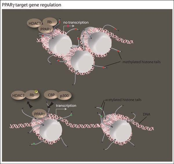 File:Epigenetics of adipose development..jpg